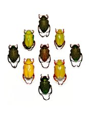 Monkey beetles