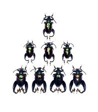 Frog-legged leaf beetles