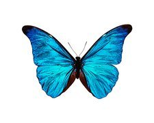 Rhetenor blue morpho butterfly