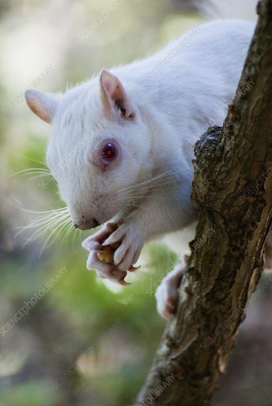 Albino squirrel on tree in Cape Town