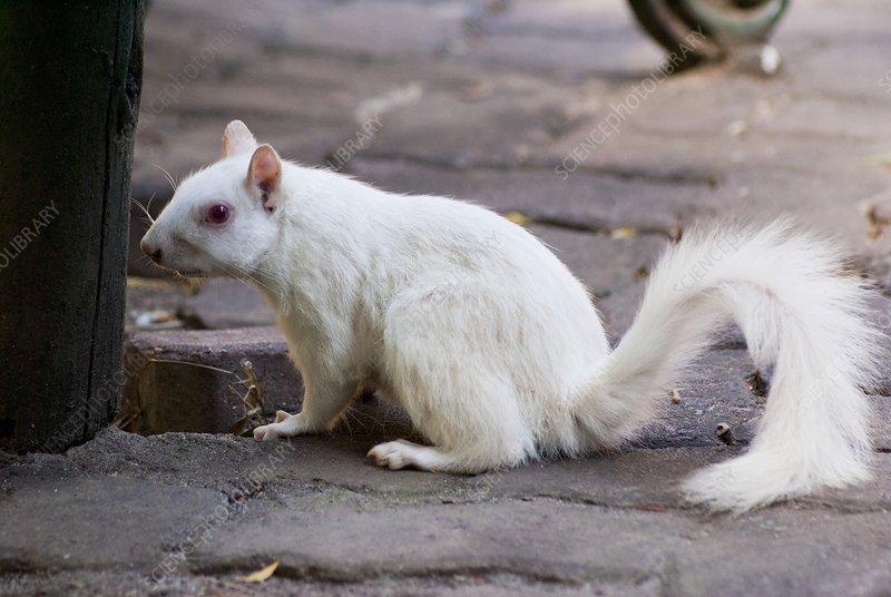 Albino squirrel in Cape Town