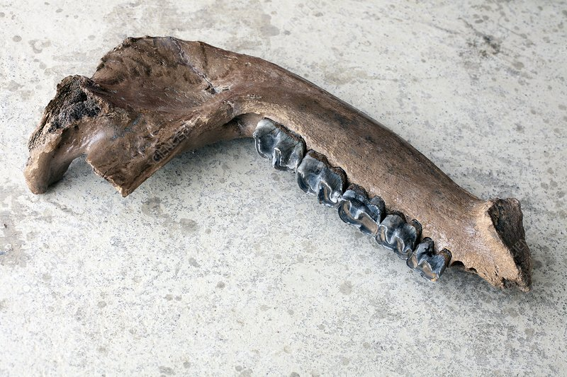 Extinct rhino jaw fossil