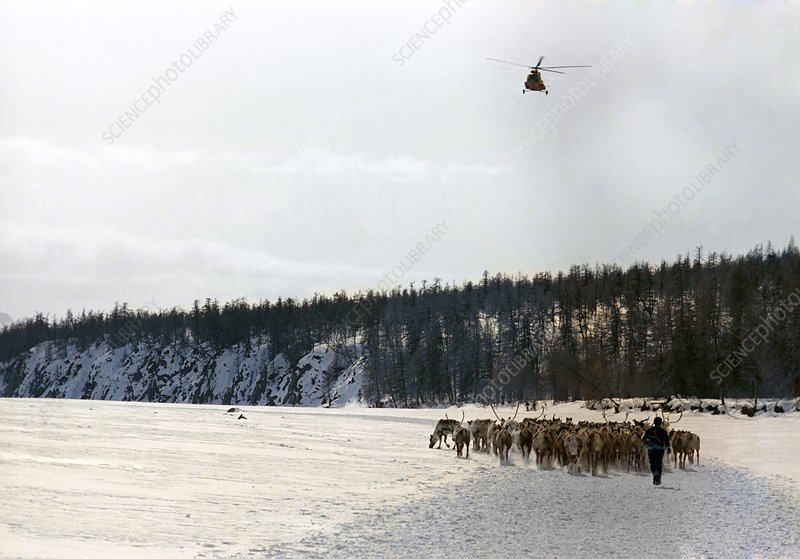Reindeer herd in Russia
