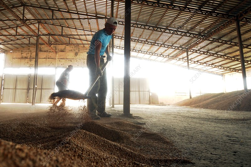 Workers in a threshing barn