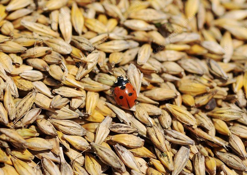 Ladybird walking on barley grains