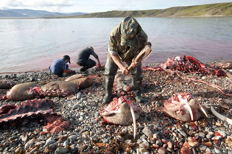 Hunters slaughtering a walrus