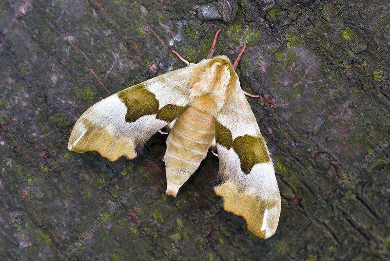 Lime hawk-moth