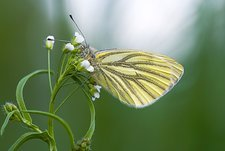 Green-veined white butterfly feeding