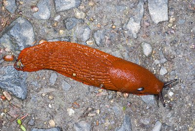 Red slug on the ground
