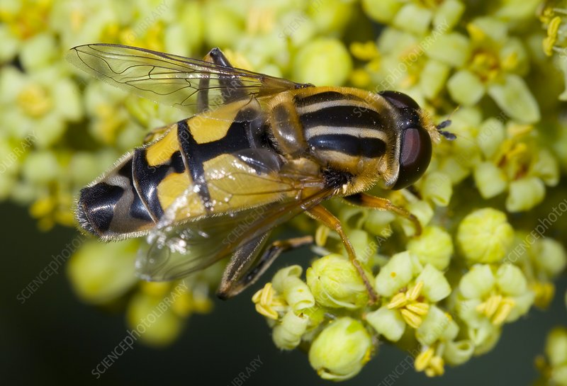 Hoverfly feeding on flowers