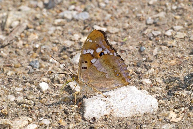 Lesser purple emperor butterfly