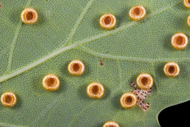 Silk button spangle galls on a leaf