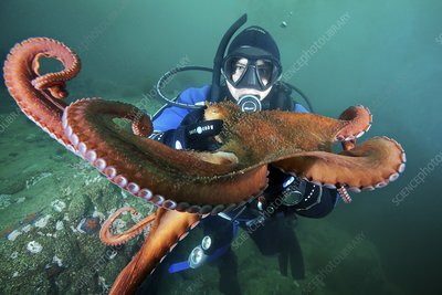 Diver with octopus, Japan Sea