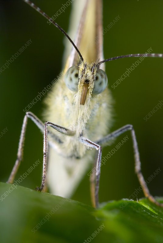 Green-veined white butterfly feeding