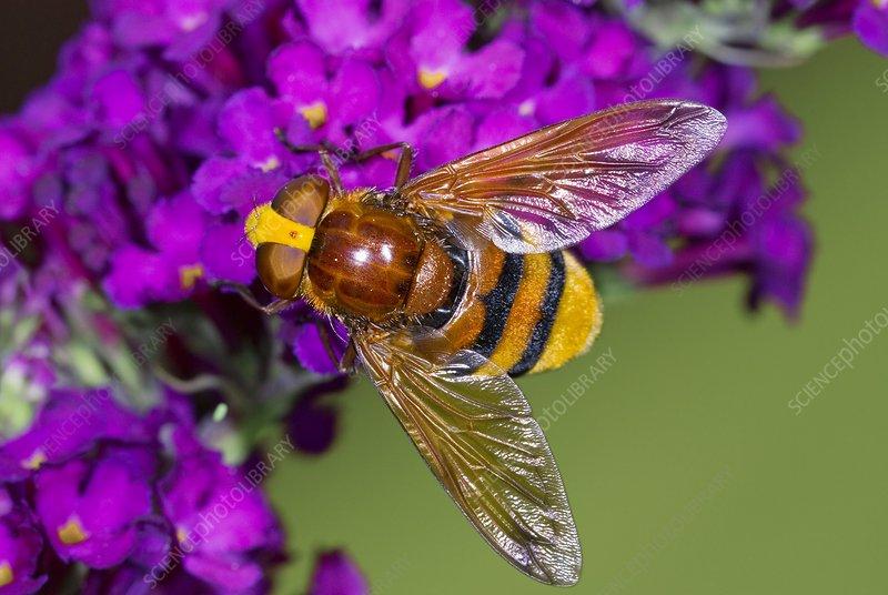Hornet mimic hoverfly