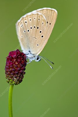 Scarce large blue butterfly