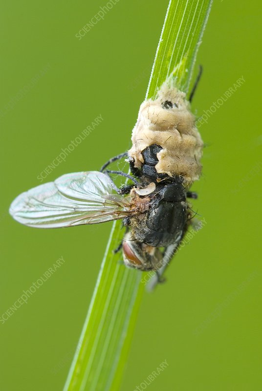 Fungus parasitising a fly