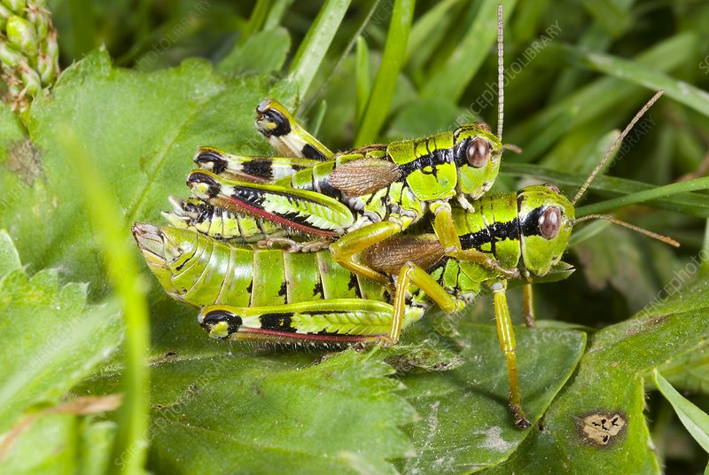 Green mountain grasshoppers mating