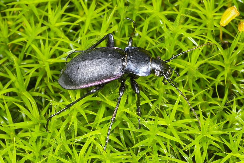 Violet ground beetle on moss