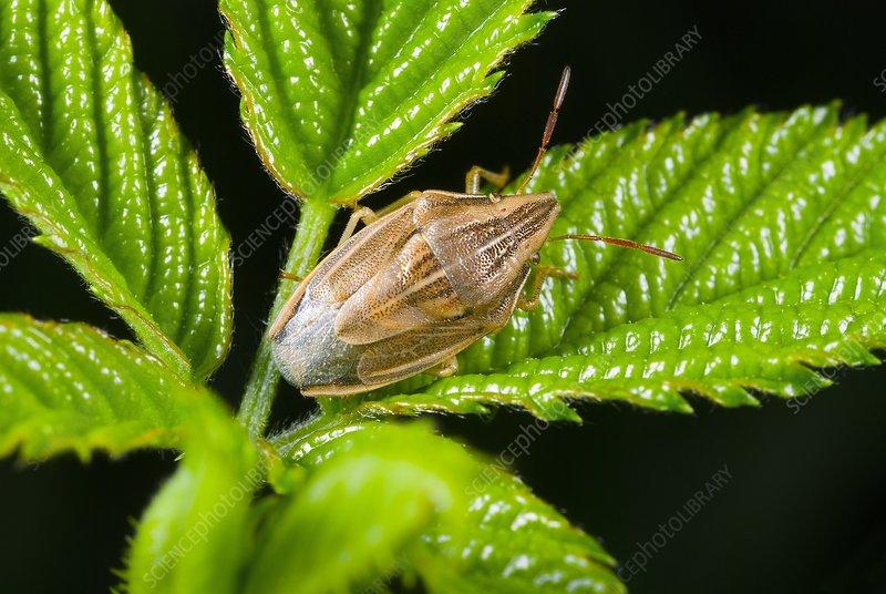 Bishop's mitre shield bug