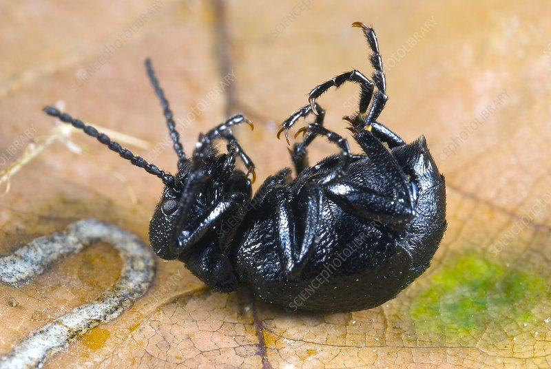Short-necked oil-beetle mimicking death