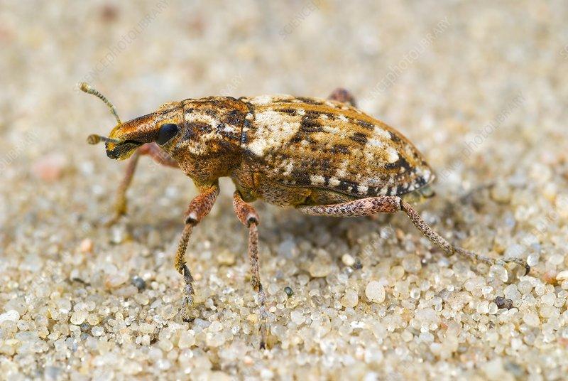 Weevil on sand