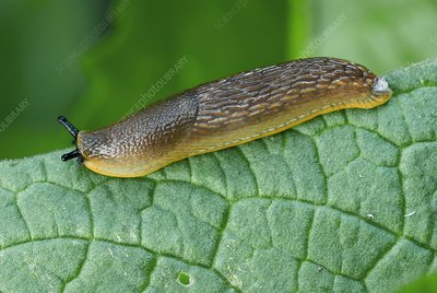 Common black slug on a leaf