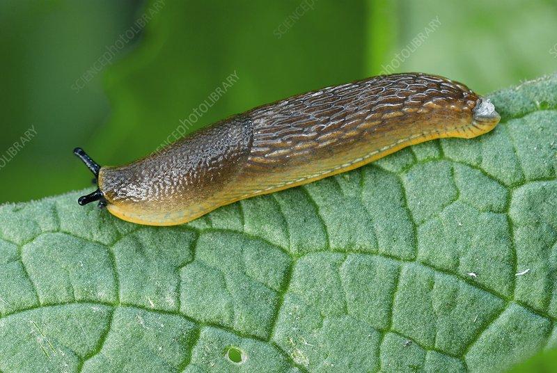 Common black slug on a leaf