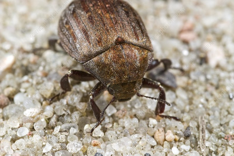Common pill beetle