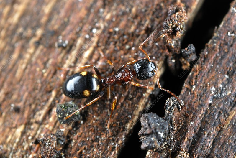 Ant on rotten wood