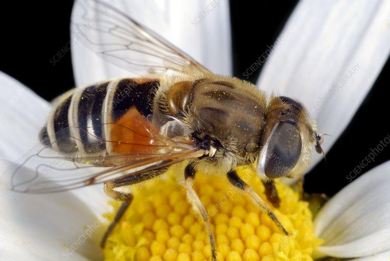 Drone fly feeding on a flower
