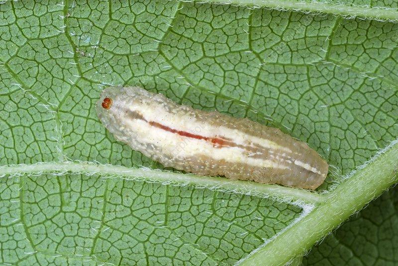 Hoverfly larva