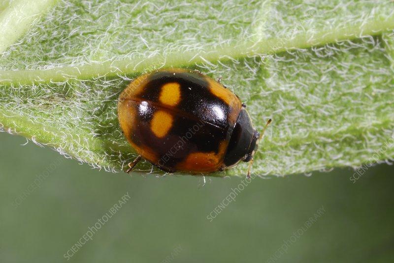 Ten-spot ladybird