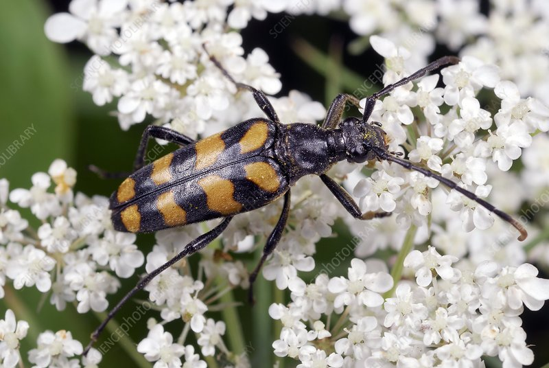 Four-banded longhorn beetle on a flower