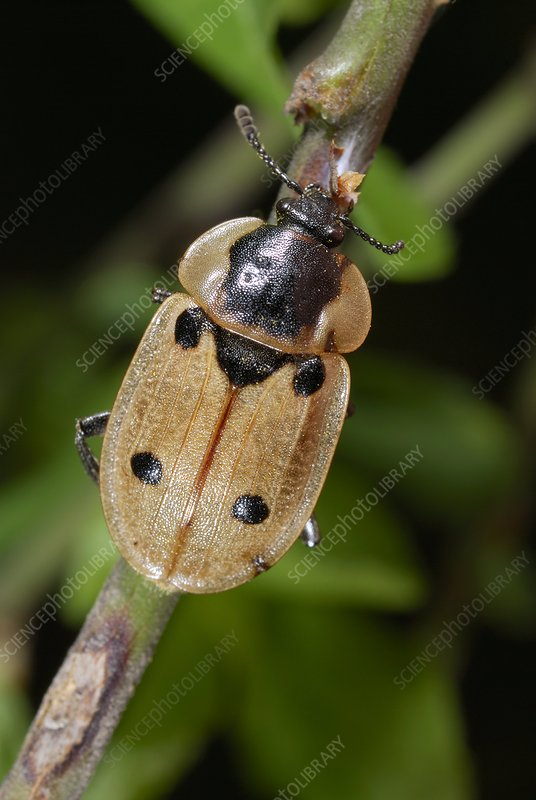Four-spot carrion beetle