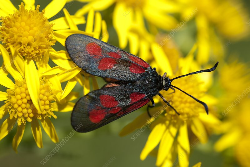 New Forest burnet moth