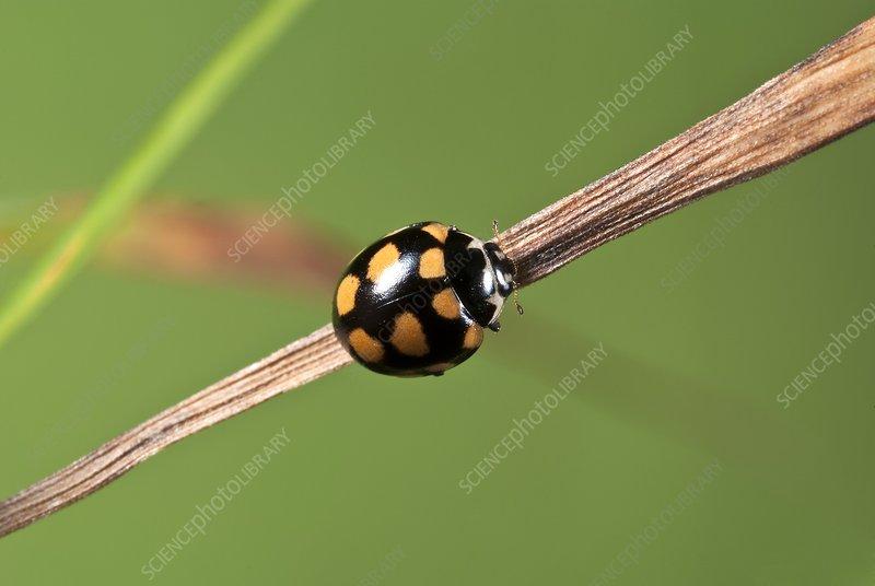 Fourteen-spot ladybird