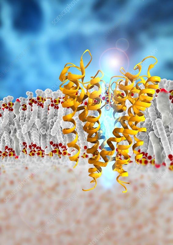 Potassium ion channel