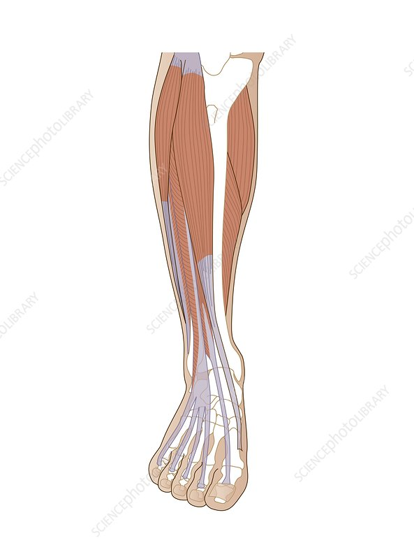 Lower Leg Anatomy Artwork Stock Image C0150005 Science Photo