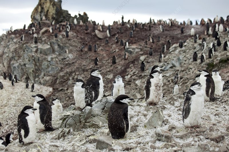 a look at the chinstrap penguins or pygoscelis antarctica Pygoscelis antarctica height: 26-28 in (66-71cm) length: 28-30in (71-76cm) the black areas make the chinstrap look as if it is wearing a jewish kippa the chinstrap penguin, the second most populous species.