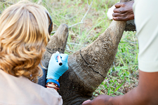 White rhinoceros horn removal