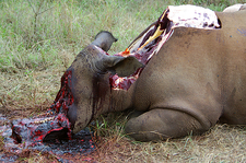 White rhinoceros killed by poachers