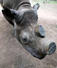 Rhinoceros conservation