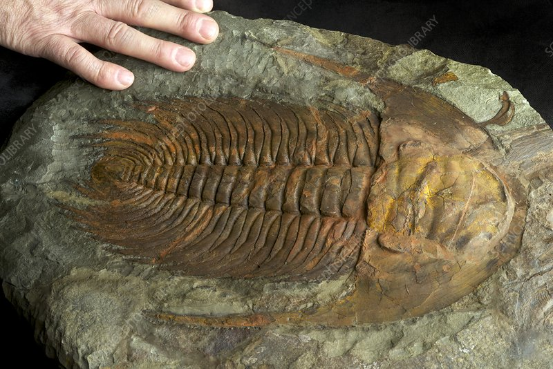 Large Cambrian Trilobite