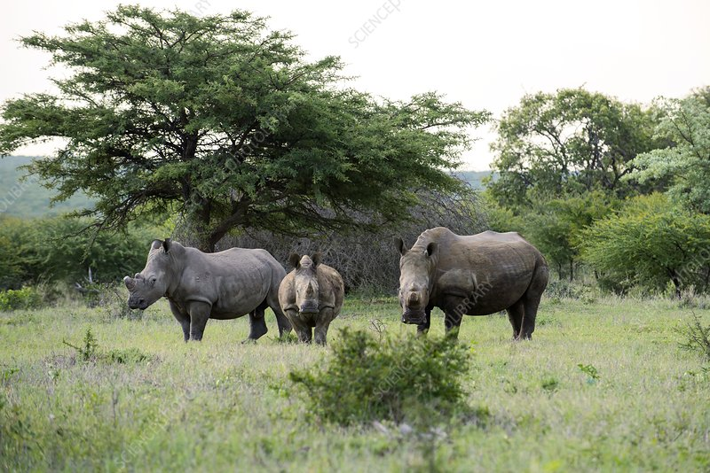 White rhinoceros with two calves