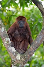 Purus red howler monkey in a tree