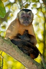 Brown capuchin monkey in a tree