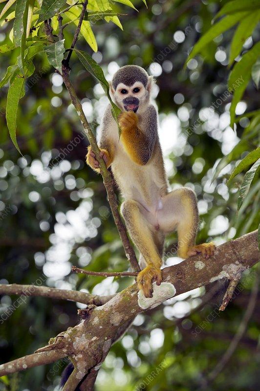 Squirrel monkeys in trees - photo#12