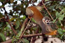 Squirrel monkey picking fruit in a tree