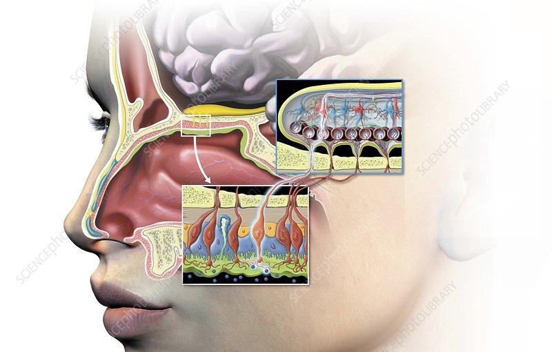 Olfactory bulb anatomy, artwork - Stock Image C015/1495 - Science ...